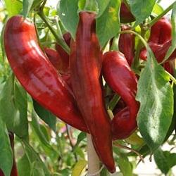 Chili Scoville SHU
