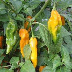 Pepper og chilimix