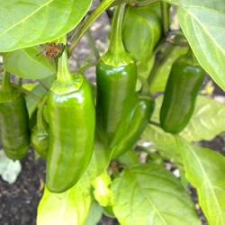 Jalapenõ chili pepper SHU